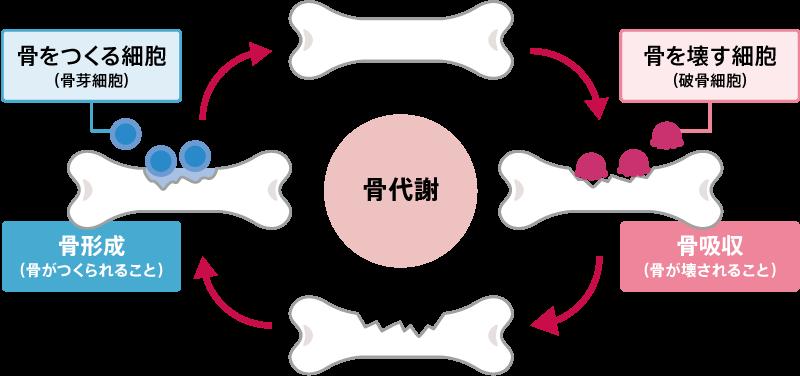 「骨代謝」の画像検索結果